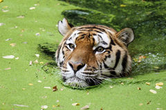 Bengal Tiger in Water Stock Images