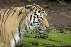 Bengal tiger in the water Stock Images