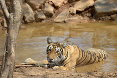 Bengal Tiger. In a waterhole Stock Images