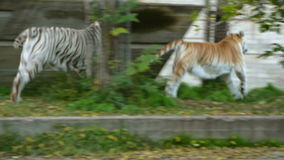 Bengal tiger and white tiger running together. Bengal tiger and white tiger running away together stock footage