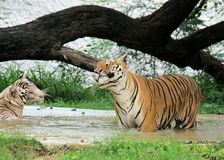 Happy Bengal Tiger with White Tigress in water Stock Images