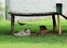 Bengal Tiger with White Tigress looking at Peafowl Royalty Free Stock Image