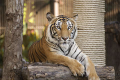 Bengal Tiger on wood resting Royalty Free Stock Photos