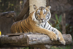 Bengal Tiger on wood resting Stock Images
