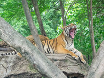 Bengal tiger. Yawing bengal tiger lying on the rock Royalty Free Stock Images