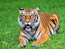 Bengal tiger in a zoo Stock Images