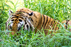Bengal Tiger. In the zoo Stock Photo