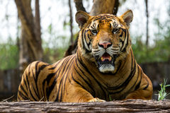 Bengal Tiger. In the zoo Stock Image