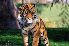Bengal tiger in zoo. Striped Bengal tiger in a zoo royalty free stock photos