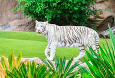 Bengal tiger in a zoo garden Stock Photo