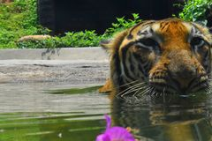 A Bengal Tiger at Zoological Gardens, Dehiwala. Colombo, Sri Lanka.  royalty free stock images