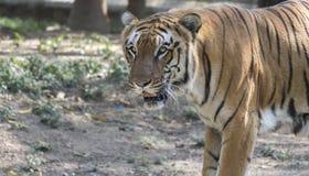 Bengal-Tigerabschluß oben stockfotografie