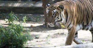 Bengal-Tigerabschluß oben stockfoto