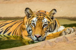 Bengal-Tigerbad Lizenzfreies Stockbild