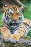 bengal tigerbarn Royaltyfria Bilder