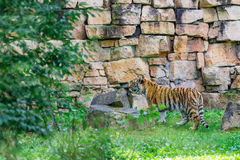 bengal tigerbarn Royaltyfri Fotografi