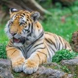bengal tigerbarn Royaltyfri Foto