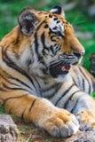 bengal tigerbarn Royaltyfri Bild