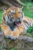 bengal tigerbarn Arkivbild
