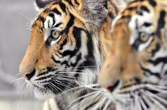 Bengal-Tigergesicht Lizenzfreie Stockfotos