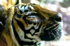 Bengal-Tigergesichtsabschluß oben Stockfotografie