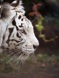 Bengal-Tigerkopfnahaufnahme Stockbilder