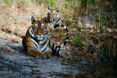 Bengal Tigers. India Three Bengal Tigers on a wood glade Stock Image