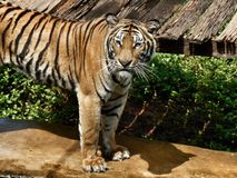 Bengal tigers. Royalty Free Stock Images