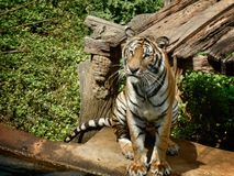Bengal tigers. Royalty Free Stock Image