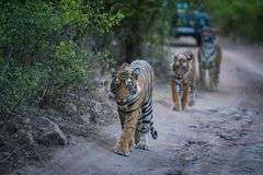 Free Bengal Tigers On An Evening Stroll On A Jungle Track In A Pattern Royalty Free Stock Image - 156829816