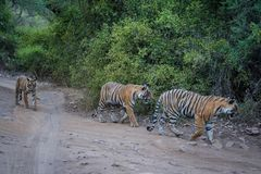 Free Bengal Tigers On An Evening Stroll On A Jungle Track In A Pattern Royalty Free Stock Photos - 156829978