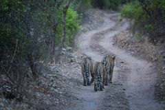 Free Bengal Tigers On An Evening Stroll On A Jungle Track In A Pattern Stock Photos - 156830133