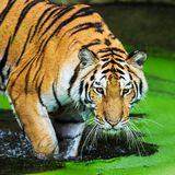 Bengal tigers Royalty Free Stock Photos