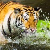 Bengal tigers swim fun Stock Photos