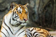 Bengal tigers Royalty Free Stock Photography