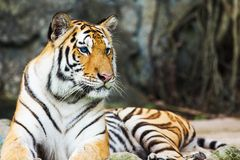 Bengal tigers Stock Photos