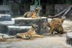 Bengal tigers in the zoo Royalty Free Stock Photos