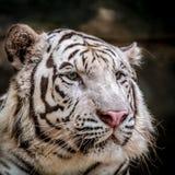 bengal tigerwhite arkivfoton