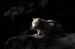 bengal tigerwhite Royaltyfri Foto