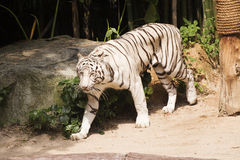 bengal tigerwhite Arkivfoto