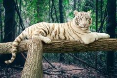 bengal tigerwhite Royaltyfri Bild