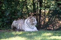 bengal tigerwhite Royaltyfria Foton