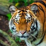 Bengal tigrar Arkivfoton