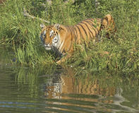 Bengal tigress Stock Photos