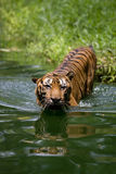 bengal tygrys Fotografia Stock
