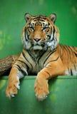 bengal tygrys Obraz Royalty Free