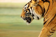 bengal tygrys Obrazy Royalty Free