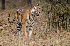 bengal tygrys królewski Obrazy Stock