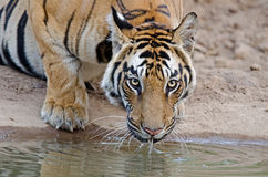 bengal tygrys królewski Obraz Royalty Free