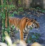 bengal tygrys królewski Fotografia Royalty Free